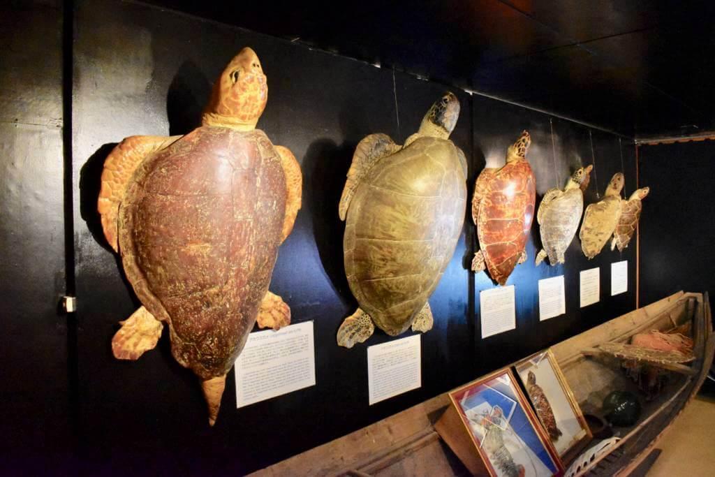 黒島研究所のウミガメの標本