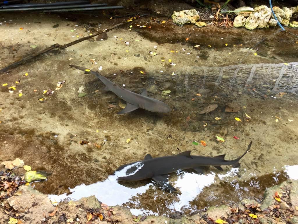 黒島研究所の池のサメ